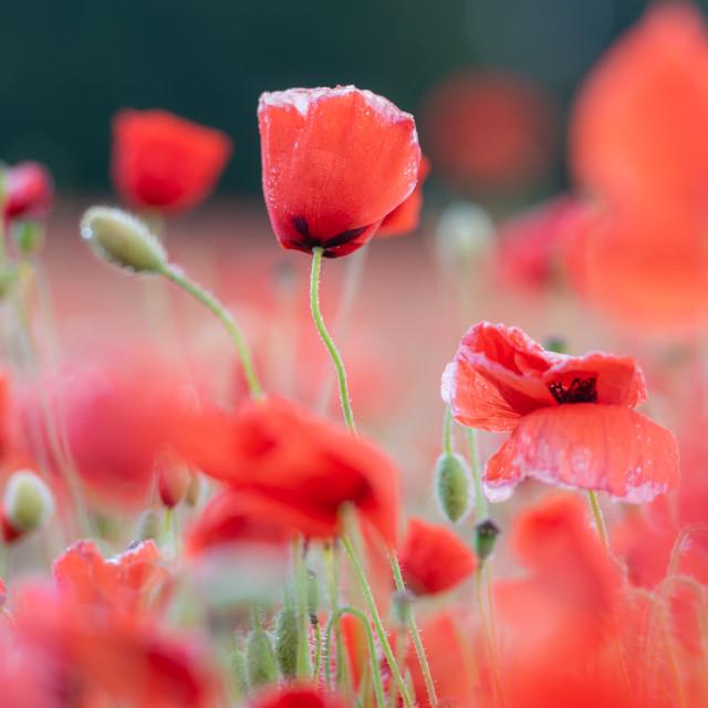 """""""Soft poppy study in Norfolk poppy field i"""" stock image"""