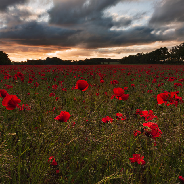 """Backlit moody sunrise over Norfolk poppy field v"" stock image"
