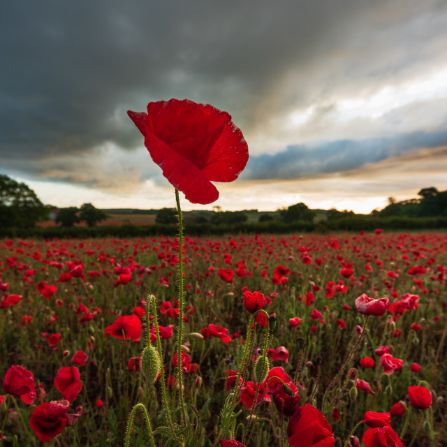 """Norfolk poppy field with one lone poppy standing tall against a"" stock image"