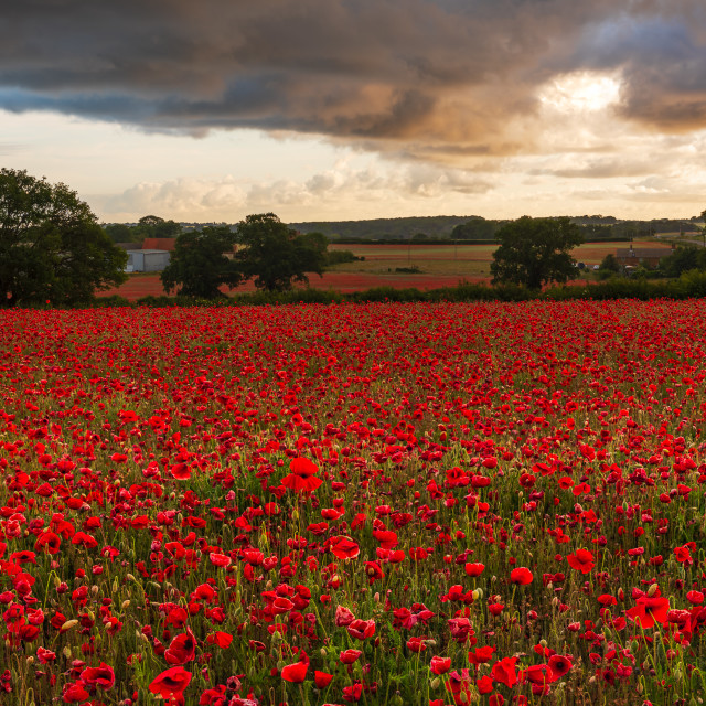"""Moody sky over Norfolk poppy field with farm in the distance ii"" stock image"