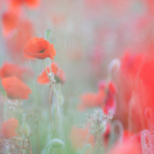 """Soft poppy study in Norfolk poppy field ii"" stock image"