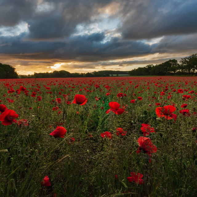 """Backlit moody sunrise over Norfolk poppy field iv"" stock image"