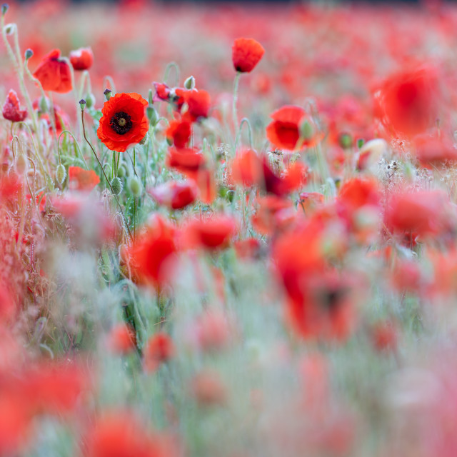 """Soft poppy study in Norfolk poppy field iv"" stock image"