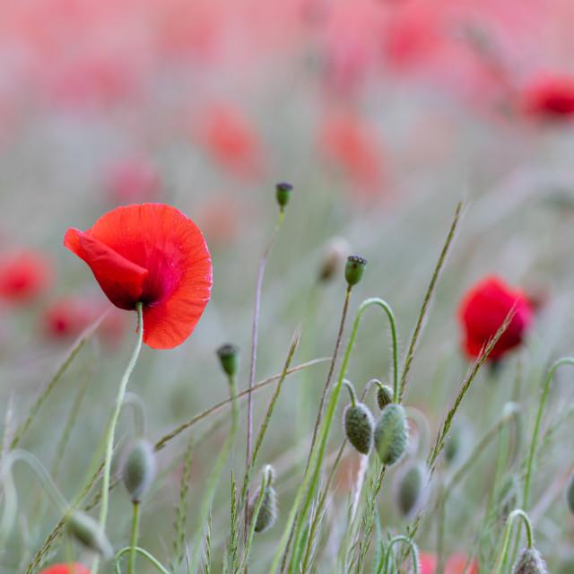 """""""Soft poppy study in Norfolk poppy field vii"""" stock image"""