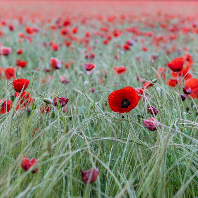 """Nofolk poppies and grasses"" stock image"