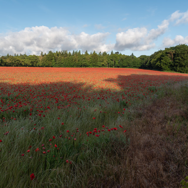 """Shadows over Norfolk poppy field with pine trees and cloudy blue"" stock image"