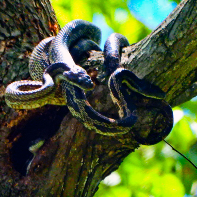 """Gray Rat Snake"" stock image"