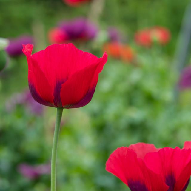 """""""Poppy"""" stock image"""