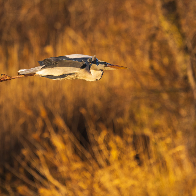 """""""Close-up of a Grey Heron in flight"""" stock image"""