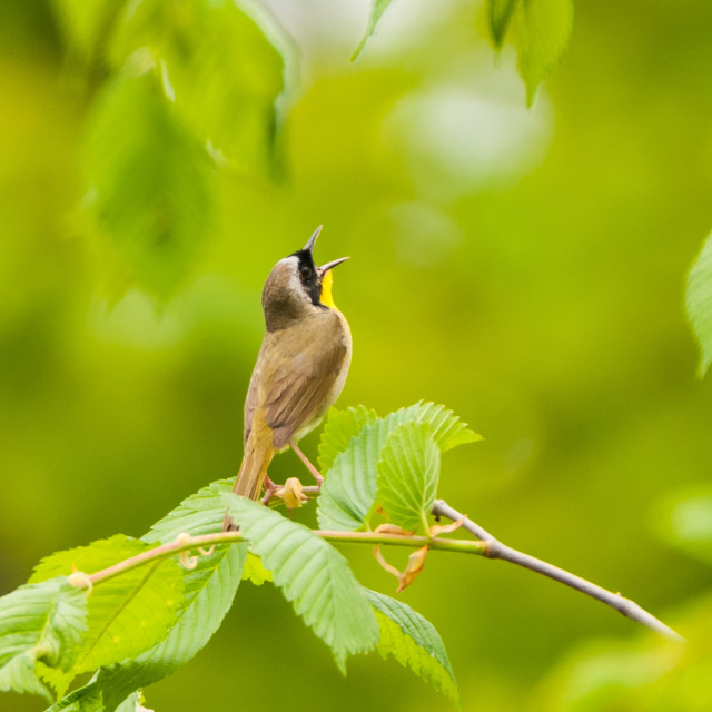 """""""Yellow Throated Warbler"""" stock image"""