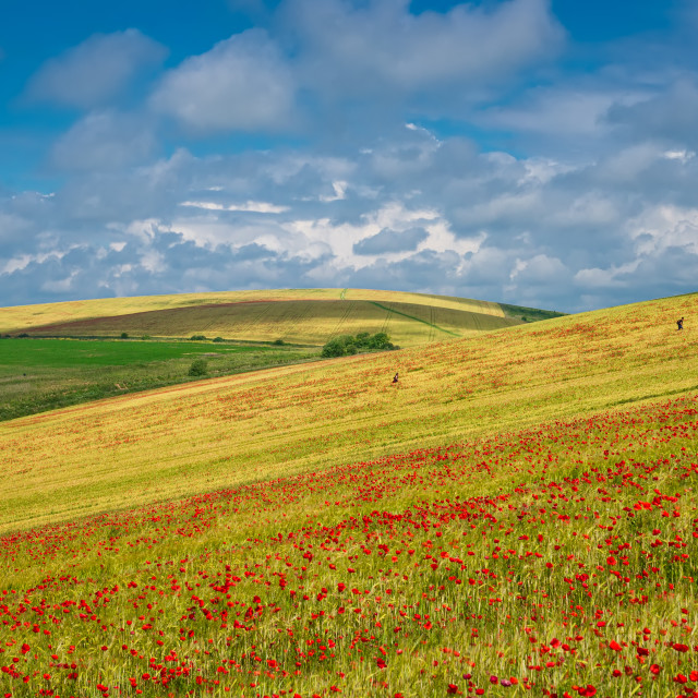 """""""Sussex Poppies"""" stock image"""