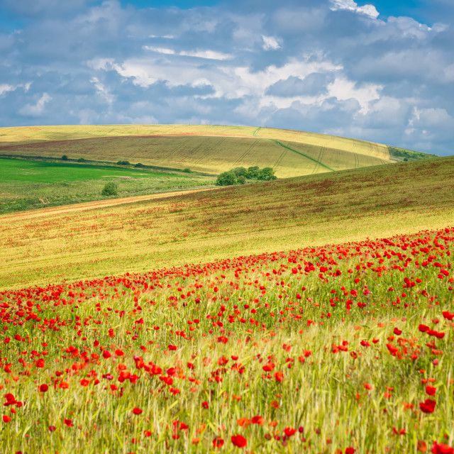 """""""Field full of poppies"""" stock image"""