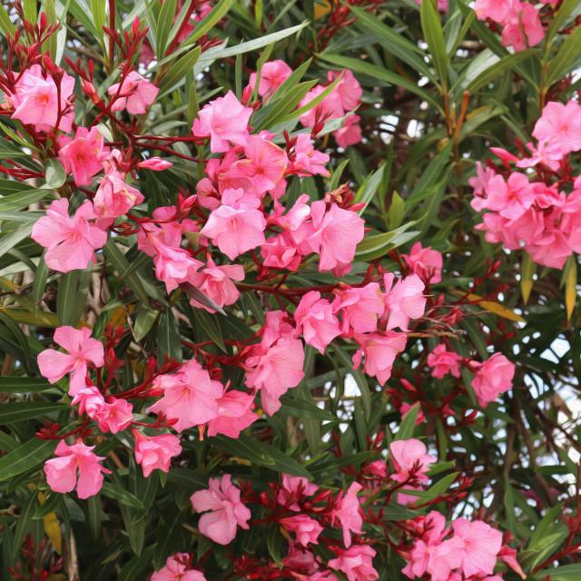 """""""Oleander bush in Spain"""" stock image"""