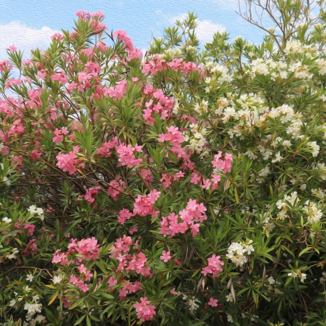 """""""Oleander in Spain"""" stock image"""