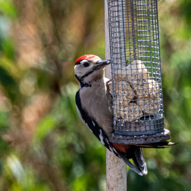 """woodpecker on feeder"" stock image"