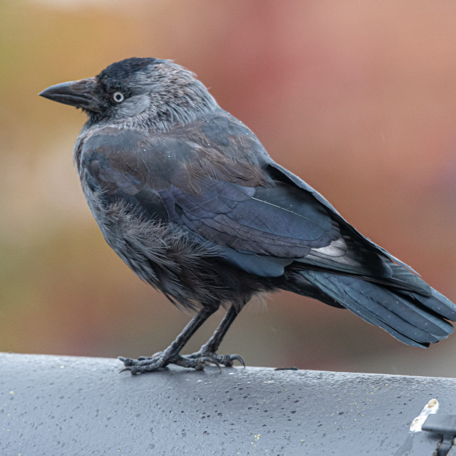 """""""Rook on the shed roof."""" stock image"""