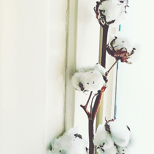 """""""Il fiore di cotone#2"""" stock image"""