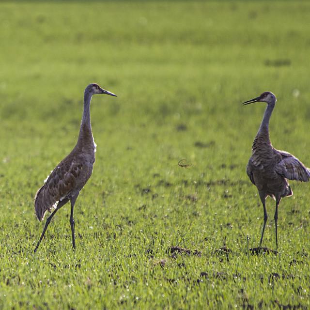 """Dancing Sandhill Cranes"" stock image"