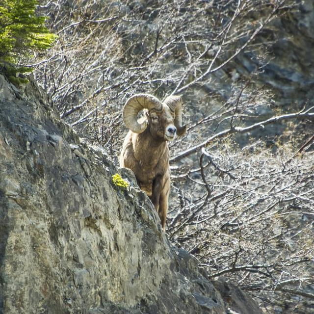 """Bighorn Ram"" stock image"