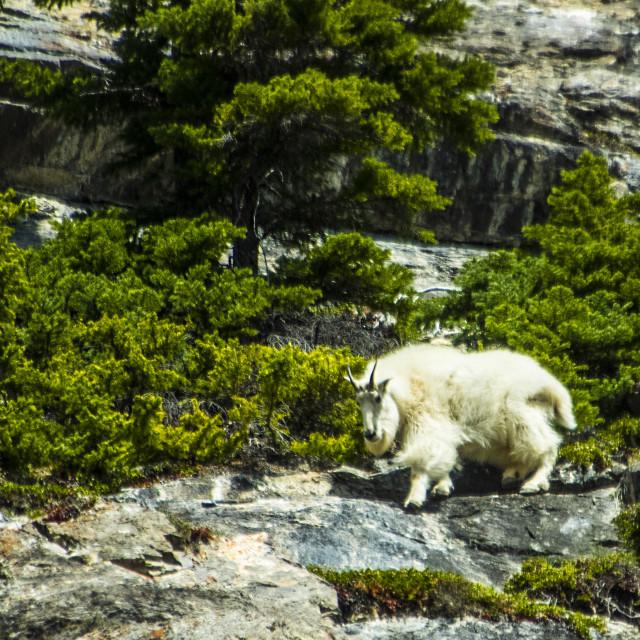 """Mountain Goat"" stock image"