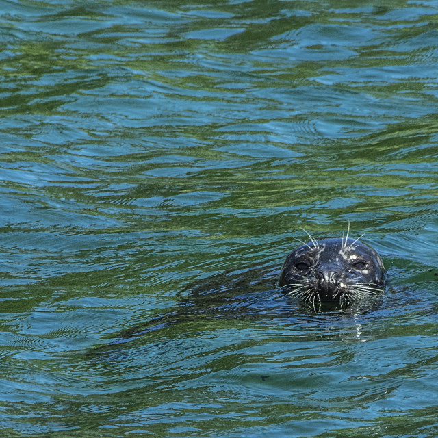 """Harbour Seal"" stock image"