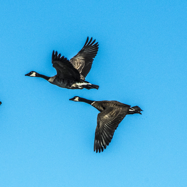 """""""Canada Geese In Flight"""" stock image"""