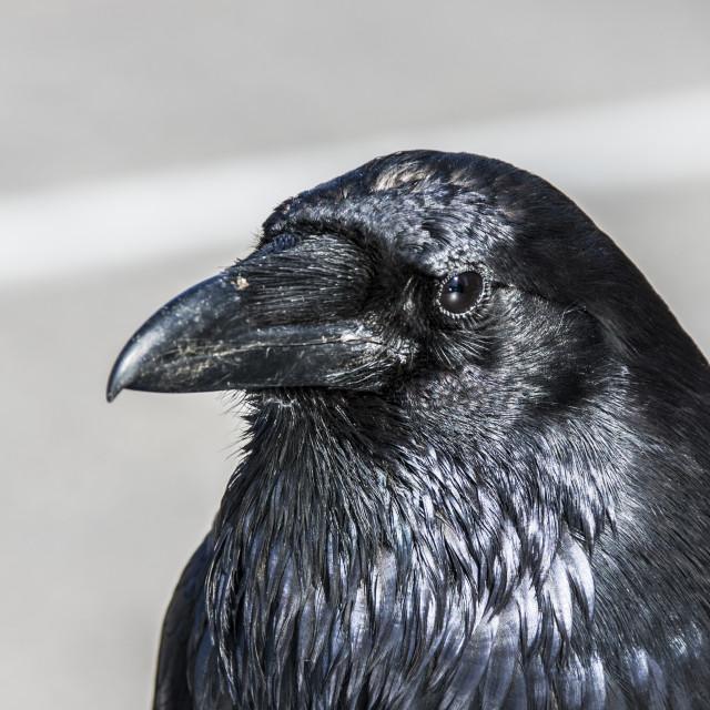 """""""Raven - A Portrait"""" stock image"""