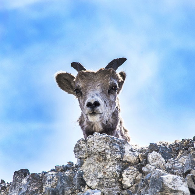 """Baby Bighorn"" stock image"