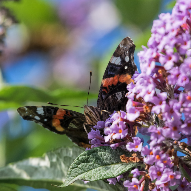 """Red Admiral on buddleia"" stock image"