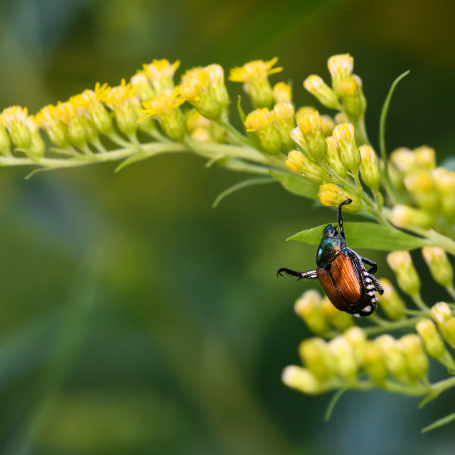 """Japanese Beetle Hanging On To Goldenrod"" stock image"