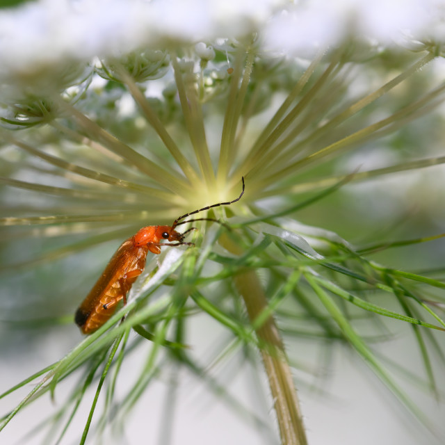 """Common Red Soldier Beetle on Queen Anne's Lace"" stock image"