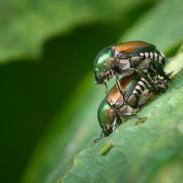 """Propagating Japanese Beetles"" stock image"