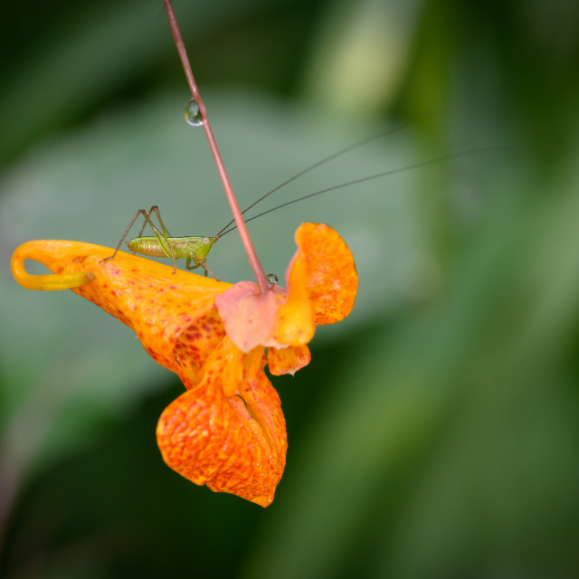 """Lesser Bush Katydid Sitting On Orange Jewelweed"" stock image"