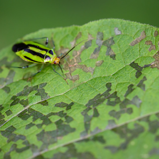 """Fourlined Plant Bug"" stock image"