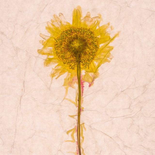 """Oxeye Daisy"" stock image"