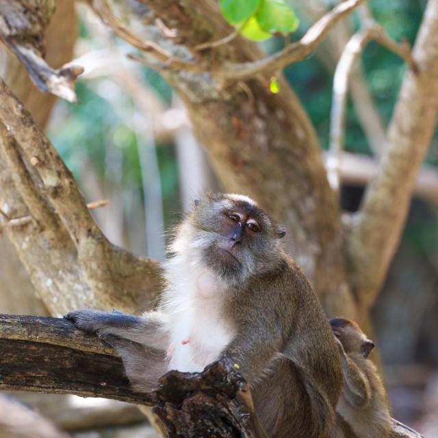 """Monkey on Monkey Beach Phi Phi"" stock image"