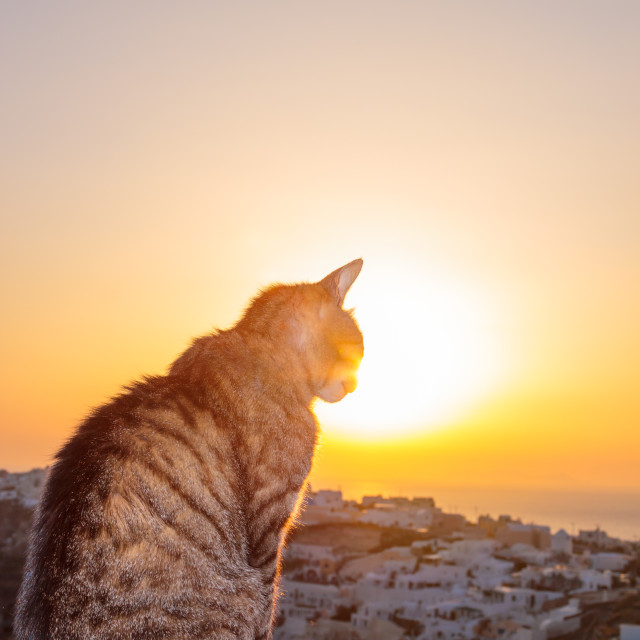 """Cat watching the sunset in Oia in Santorini"" stock image"