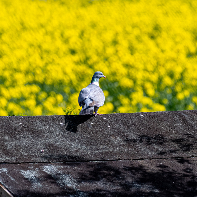 """""""Pidgeon on shed roof"""" stock image"""