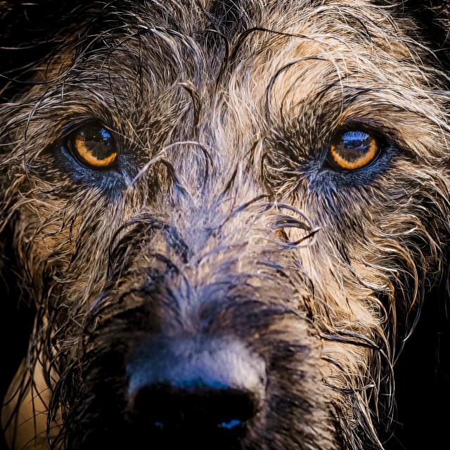 """""""A Dog Portrait. Cambridge UK."""" stock image"""