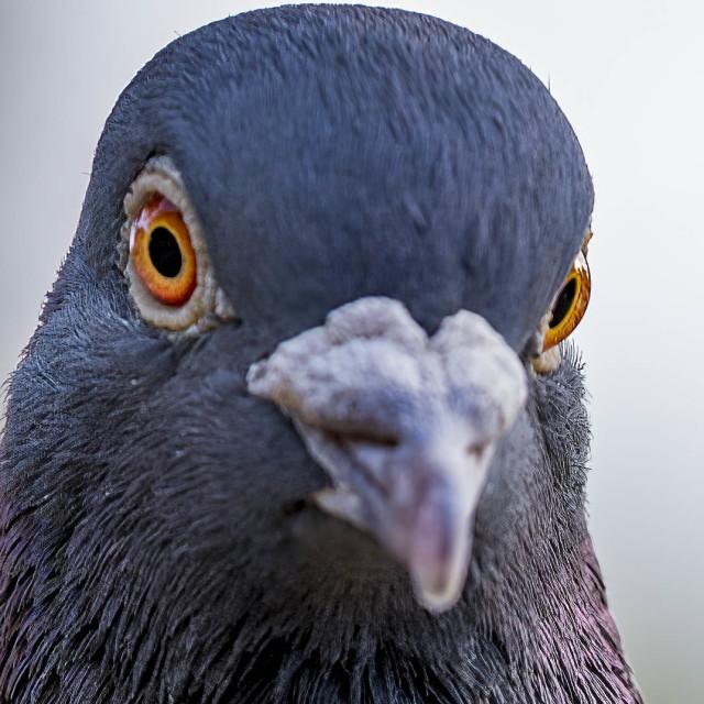 """Pigeon Portrait, Cambridge UK."" stock image"
