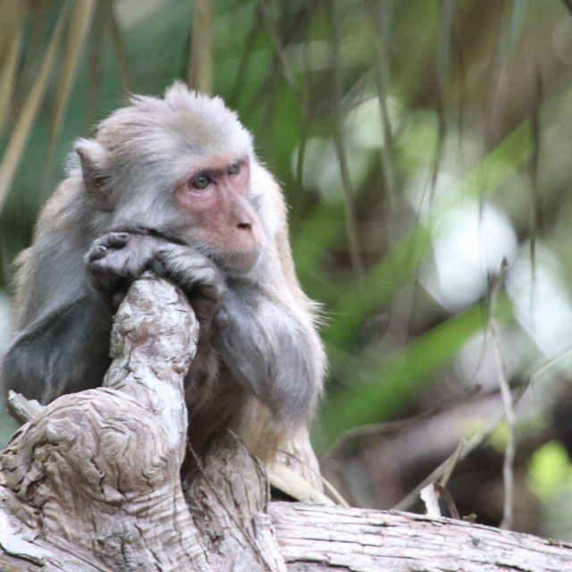 """""""Old Man Monkey"""" stock image"""