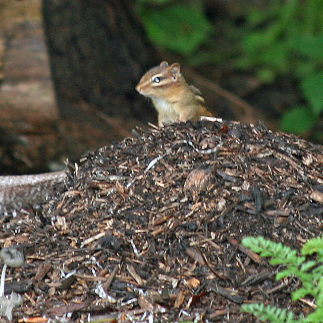 """chipmunk of the hill"" stock image"