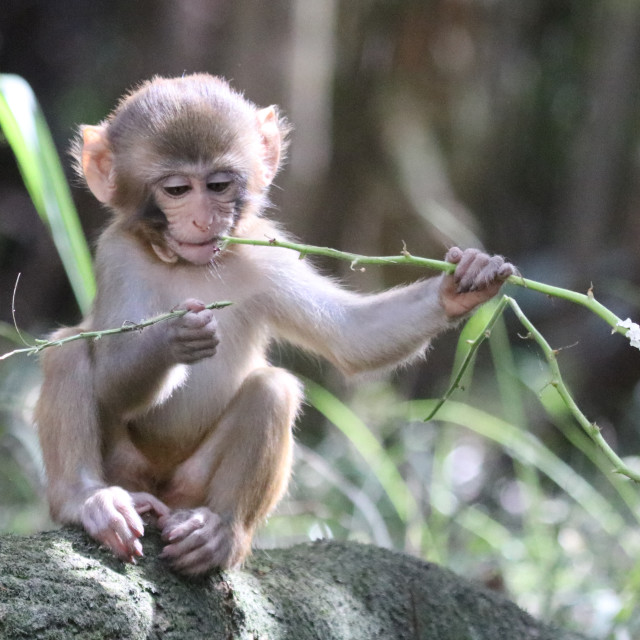 """Monkey having a snack"" stock image"