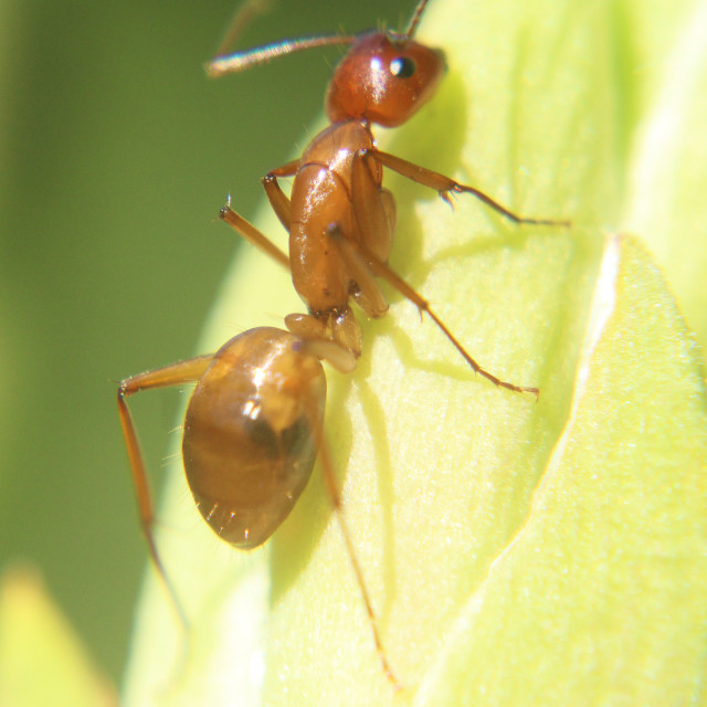 """""""red ant"""" stock image"""