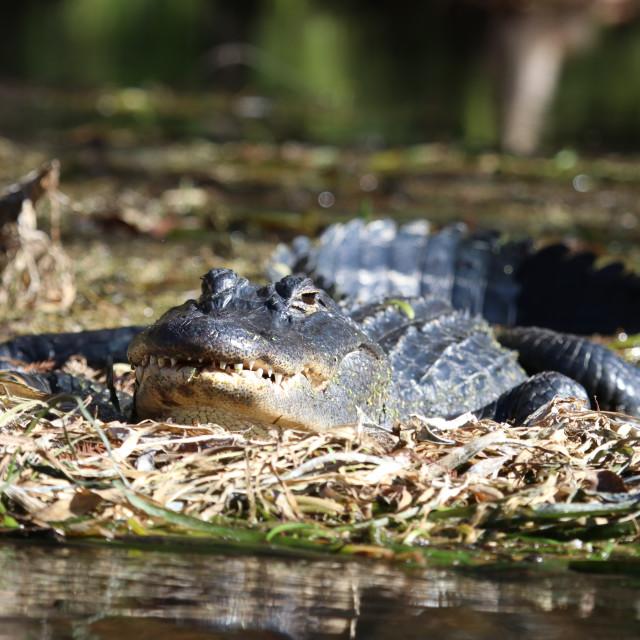 """Gator Grin"" stock image"