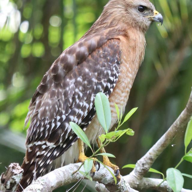 """""""Red Shouldered Hawk"""" stock image"""