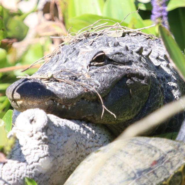 """Gator"" stock image"