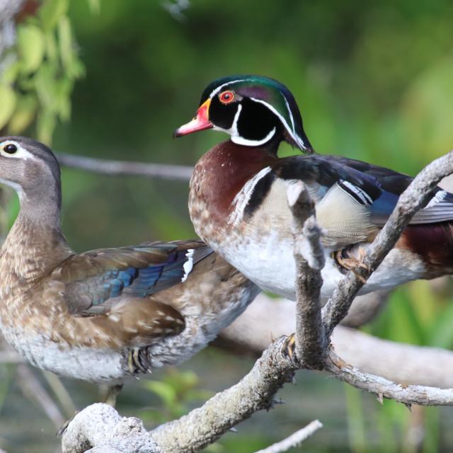"""wood duck pair"" stock image"