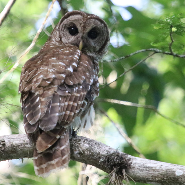 """""""barred owl looking at me"""" stock image"""
