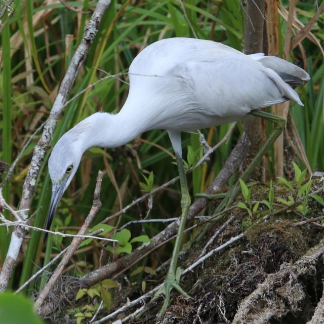 """Immature little blue heron"" stock image"